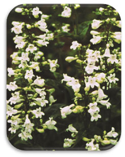 Penstemon digitalis